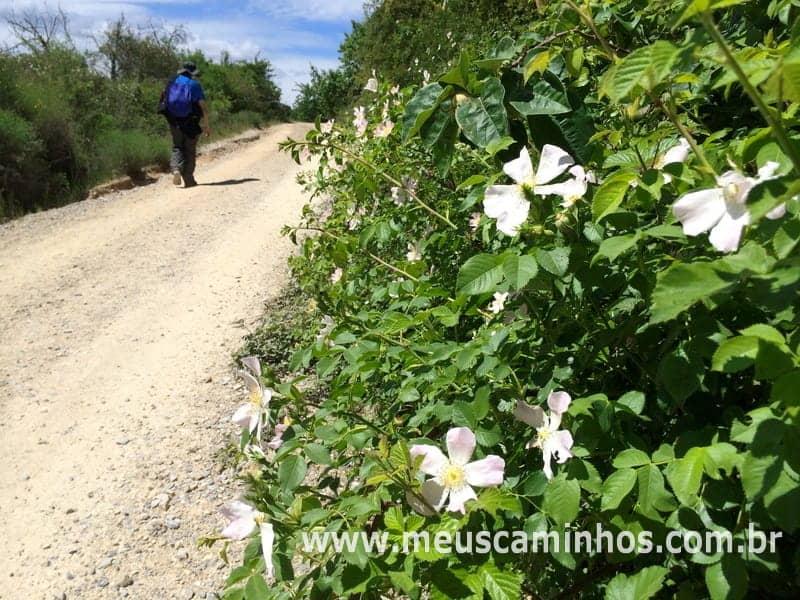 No lado esquerdo da foto há uma peregrina na útlima grande subida antes de Villafranca del Bierzo. No lado esquerdo, em primeiro plano, há diversas flores brancas e folhas verddes.